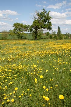 photo of field with buttercups