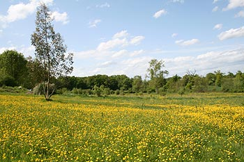 field with buttercups