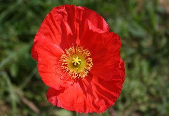 photo of poppy